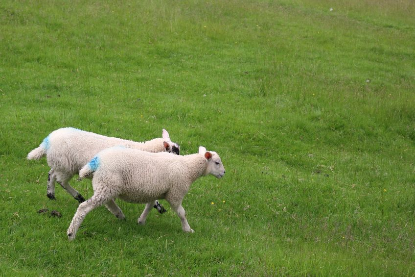 Farmers call on Welsh Government to fund sheep scab programme