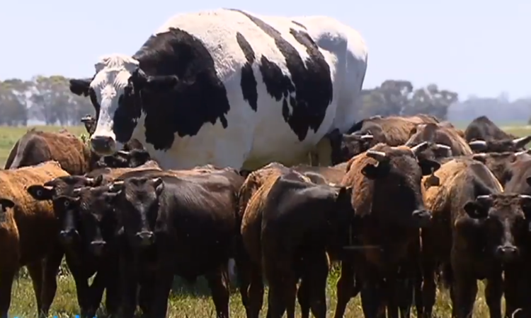 'Leader of the pack': Australian farmer unable to sell enormous 6ft 4 steer