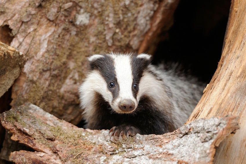 One in five roadkill badgers in Cheshire tested positive for bTB