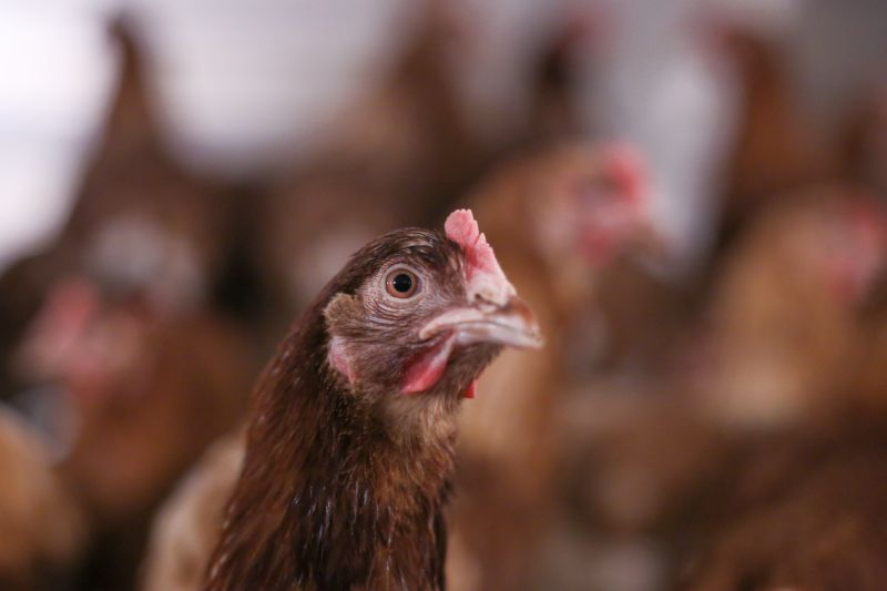 New ventilation system to help poultry welfare in hot weather