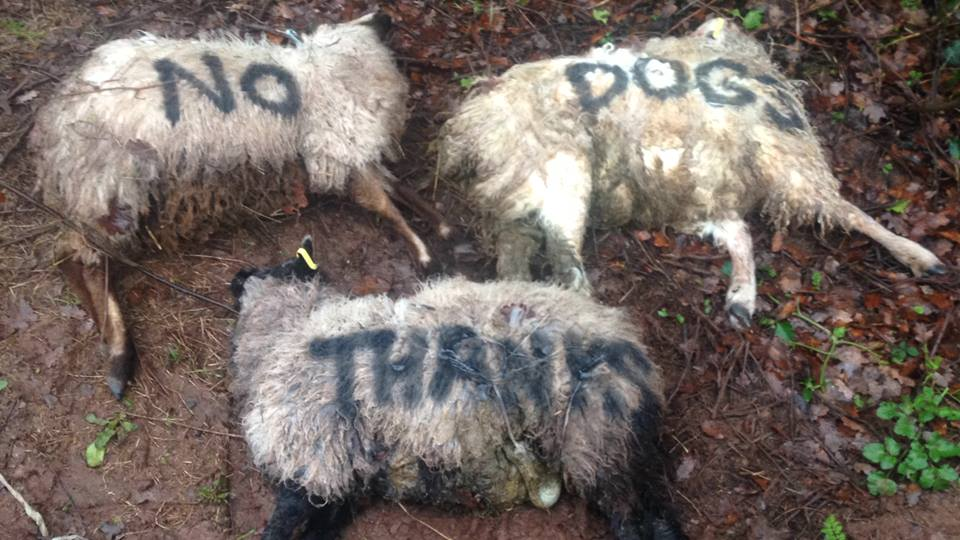 Farmer paints 'no dogs' on dead sheep following attack