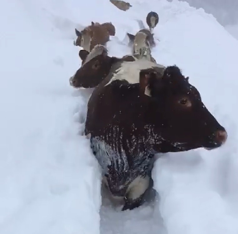Video: Cows trek through deep snow as Europe hit by severe weather