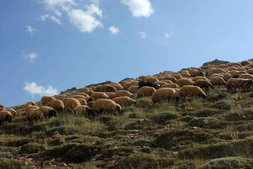 Prime sheep prices stay firm as supplies remain tight