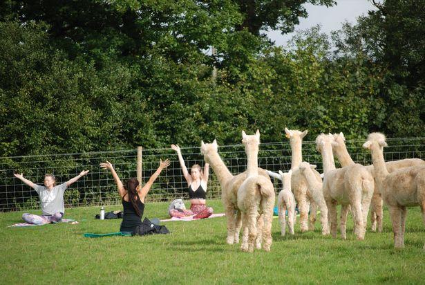 'Off the grid' Devon farm UK first to offer 'alpaca yoga'