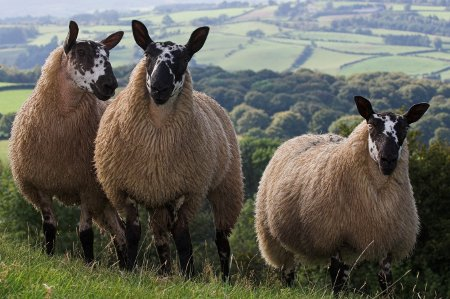 46 pregnant ewes stolen from Welsh farm
