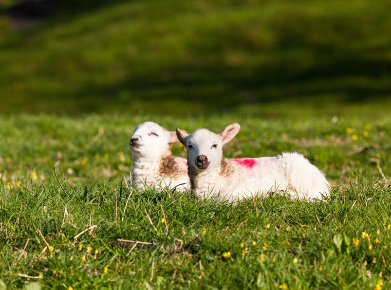 Spike in temperature puts lambs at risk of deadly disease