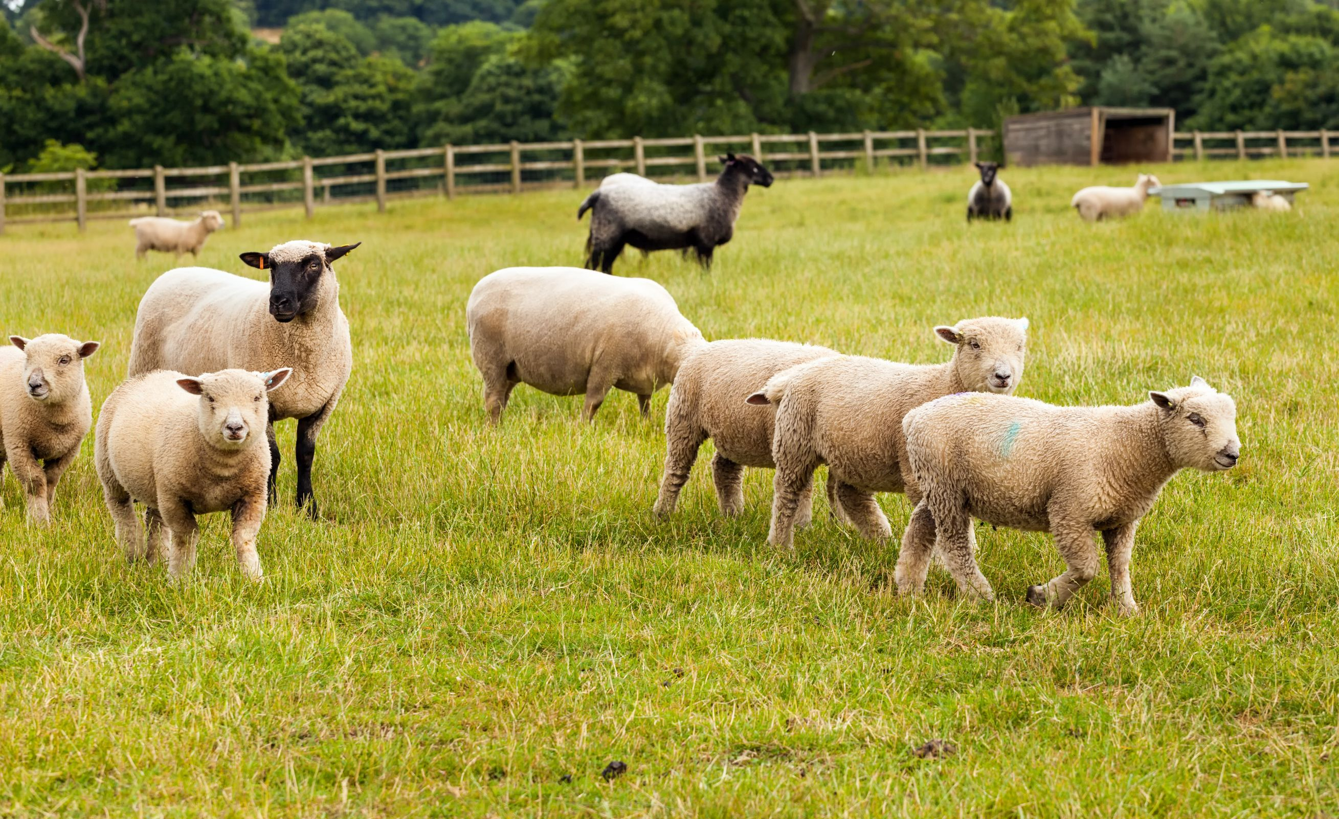 Welsh hill farmers urged to take part in Hill Ram Scheme