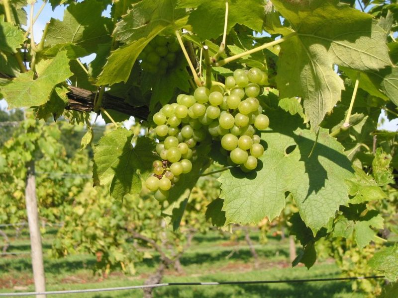 Acreage for British wine industry triples since 2000