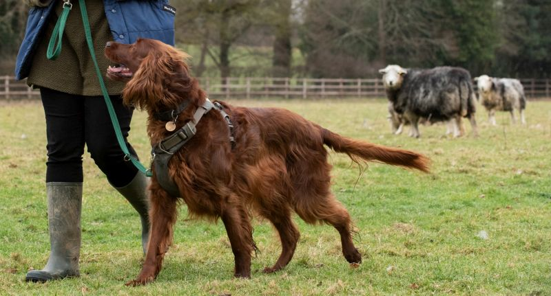 Livestock such as sheep, cattle and horses can easily become anxious and worried by dogs and walkers