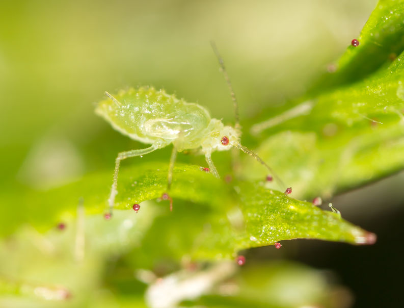 The warm winter has primed aphids for earlier than usual flights
