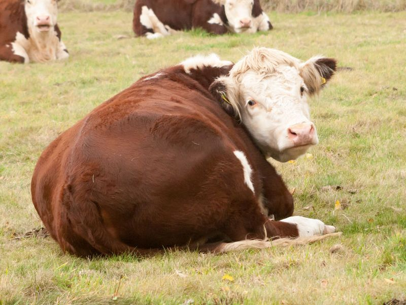 £6m allocated to vets to contain highly contagious cattle disease