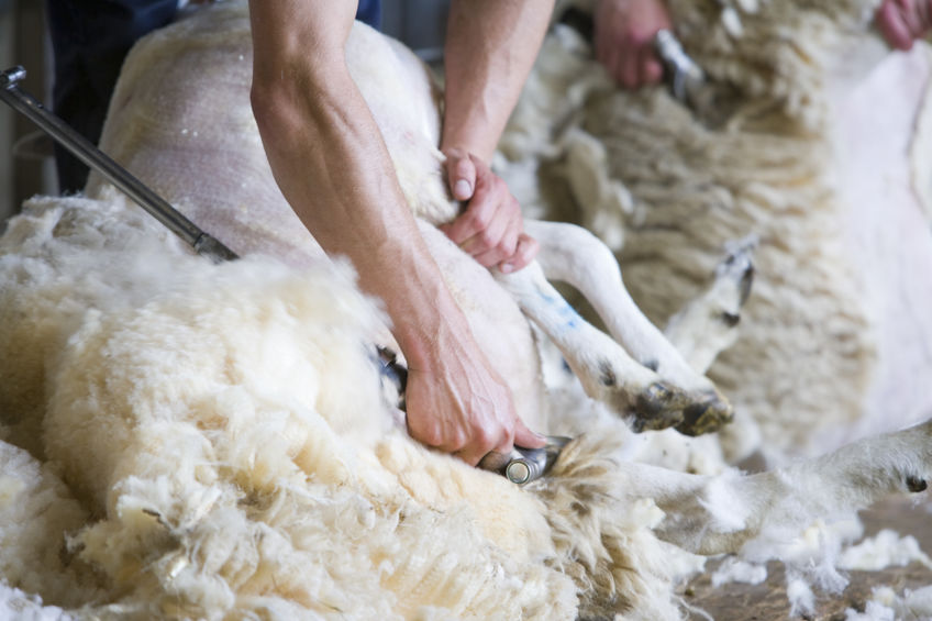 New shearing guidance gives tips to promote best practice