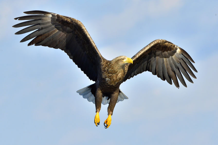 National Sheep Association criticises Norfolk's new eagle project
