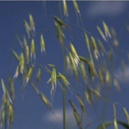 Wild oat panicle