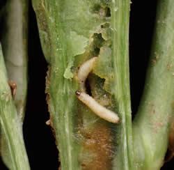 Beetle lavae alert on backward rape crops