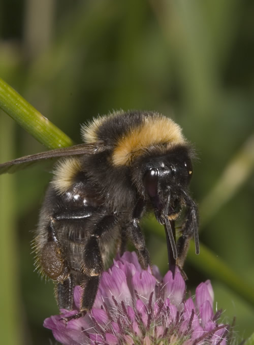 Worcestershire vegetable farmers find rare bumble bee