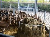 Happy herds feel at home in Britain's fi...