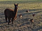 Alpacas guard the flock and keep the fox...