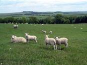 Concerns rise over electronic sheep data...