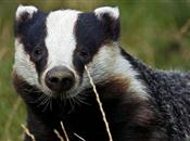 Farmers win injunction over badger cull ...