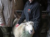No magic bullet for improving lamb produ...