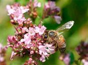 Managed honeybees linked to new diseases...