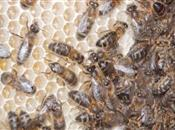 Public urged to help support our bees' n...
