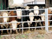 Cattle pneumonia could cause long-term c...