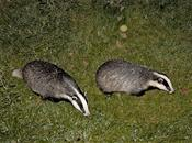 Vet support for badger cull falls