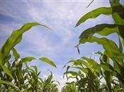 US corn harvest report indicates record ...