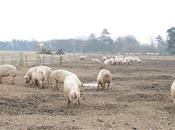 Serious disease threatening pig herds ac...