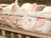 Environmental stress triggers costly pig...