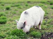 Pig specialists warn: 'turn away from mi...