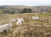 Sheep lameness: New publication aims to ...