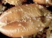 Mites, the commonest pest of stored grai...