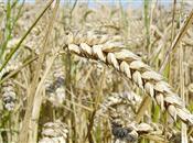 Whole wheat genome mapped in milestone r...