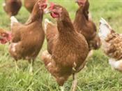 Global supply rebalancing and avian infl...