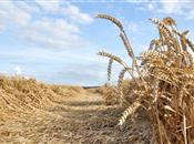 Fungi may help drought-stressed wheat