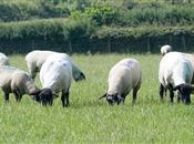 NSA encourages sheep farmers to get behi...
