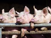 National Pig Association plots new ways ...