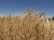 Spring barley performs better as strateg...