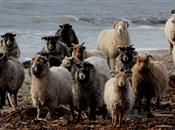 Orkney producers of wool and mutton to l...