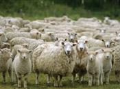 Sheep meat inspection improvements on tr...