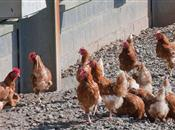 Poultry industry 'under intense pressure...