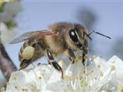 Banned EU pesticide affects learning of ...