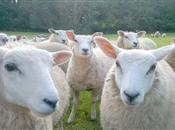 Sheep rustling scheme ready to go nation...