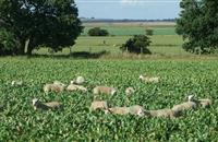 Fast growing grazing turnip 'Appin' ideal to boost summer forage production
