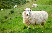 Five-mile rule to 10-mile rule livestock movement change a 'huge win for sheep farmers'
