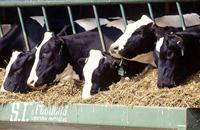 Feeding critical during grazing to maximise milk price