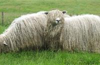 British Wool Marketing Board to showcase its work at South Sheep 2016